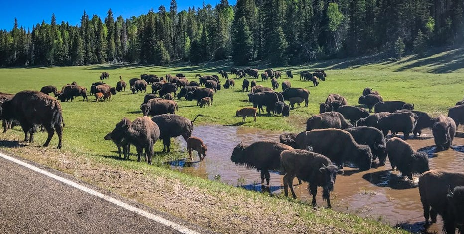 Grand Canyon opens lottery for shooting bison in the park