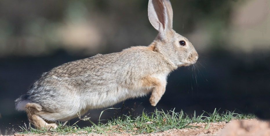 Arizona Game and Fish warn of disease killing off rabbits