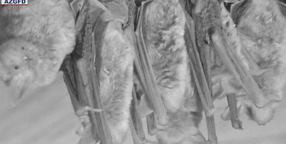 Monsoon 2021 brings bat invasion to Arizona