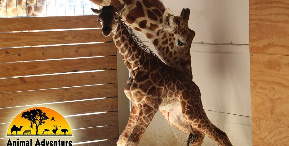 More than 1 million tune in for giraffe birth at Animal Adventure Park