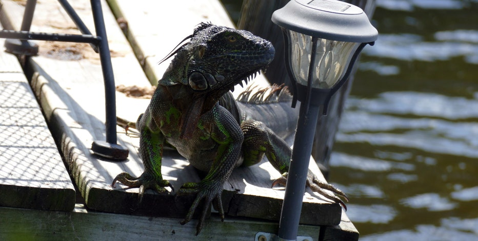 Green iguana sightings reported in Bay Area, Central Florida counties
