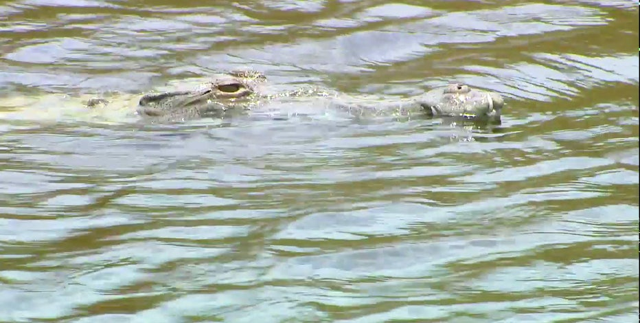 Crocodiles surviving and even thriving outside South Florida nuclear power plant