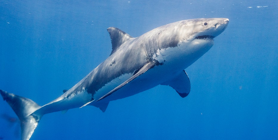 Great white sharks are moving to Florida for the winter