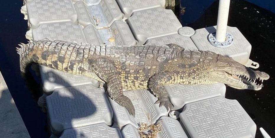 70-year-old crocodile spotted in Punta Gorda backyard
