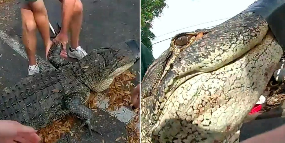 10-foot alligator found underneath car at Tampa apartment complex