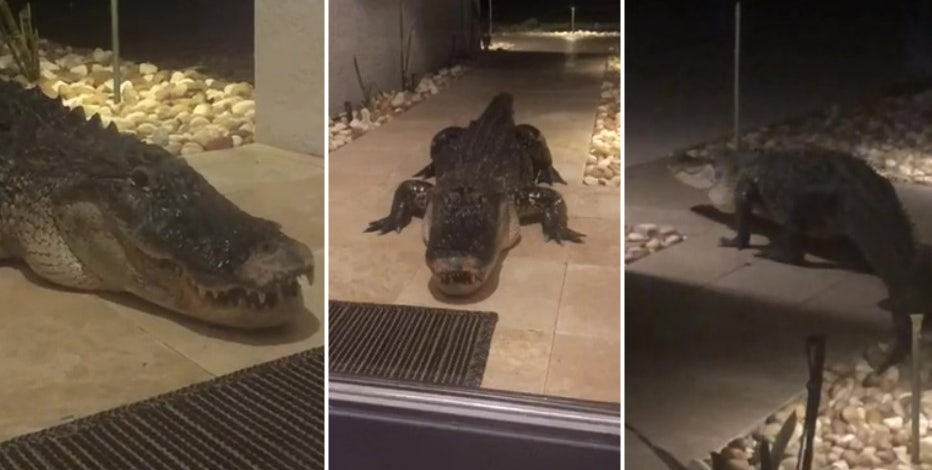 Giant gator shows up on front doorstep of Sarasota home
