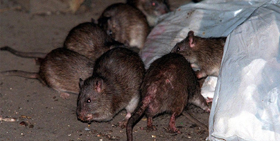 A look at NYC's rat problem, past and present