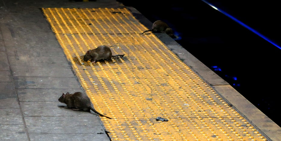 Rats growing more aggressive, even eating each other during pandemic