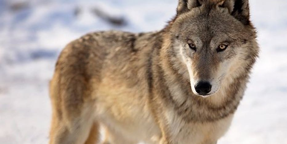 Wisconsin to set fall wolf limit after runaway spring hunt