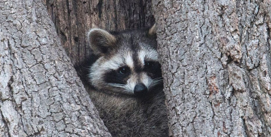 Fewer insurers cover raccoon damage; it could cost you thousands