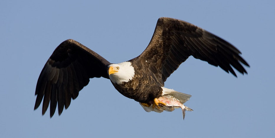 COVID-19 pandemic grounds bald eagle count for 1st time in 50 years