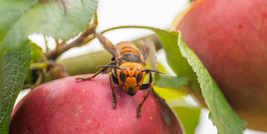 Scientists in US, Canada brace for battle against murder hornets
