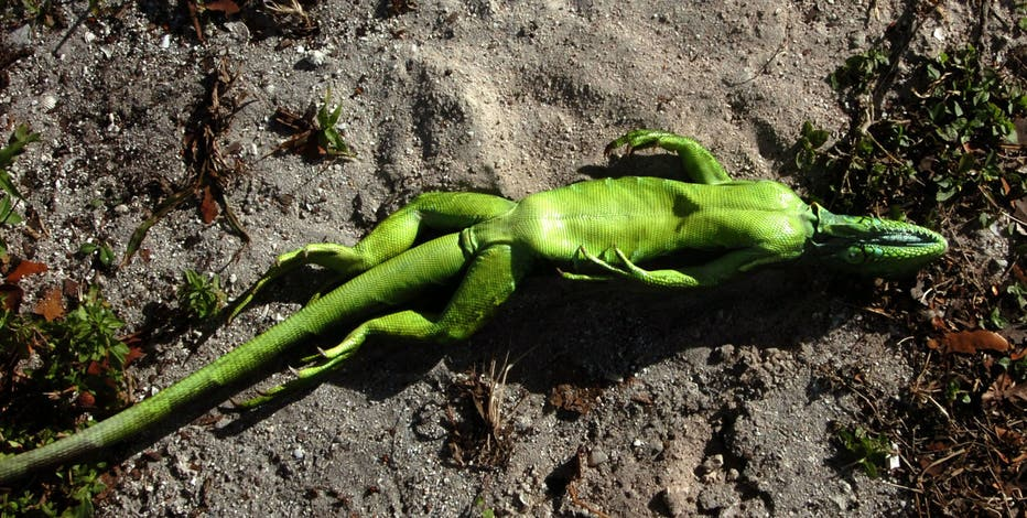 Christmas in Florida: Chilly forecast means falling iguanas