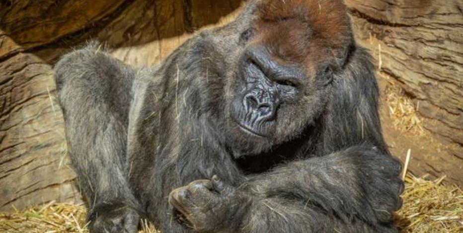 Gorillas test positive for coronavirus at San Diego park