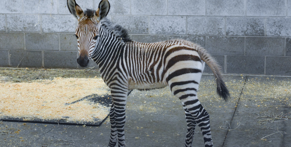 Racine Zoo announces baby zebra birth; public to bid on name