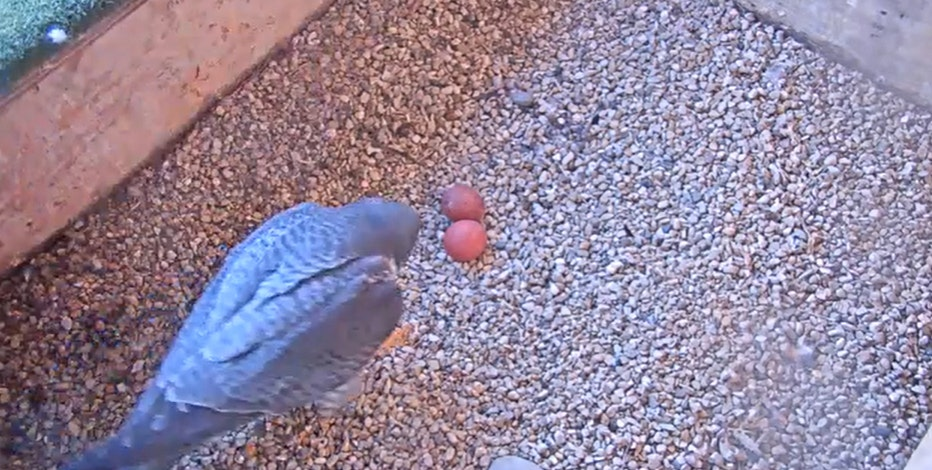 1st eggs of 2021 peregrine falcon nesting season laid at Oak Creek