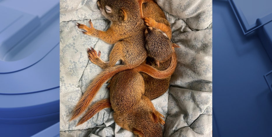 Baby squirrels rescued from Brewers' parking lot