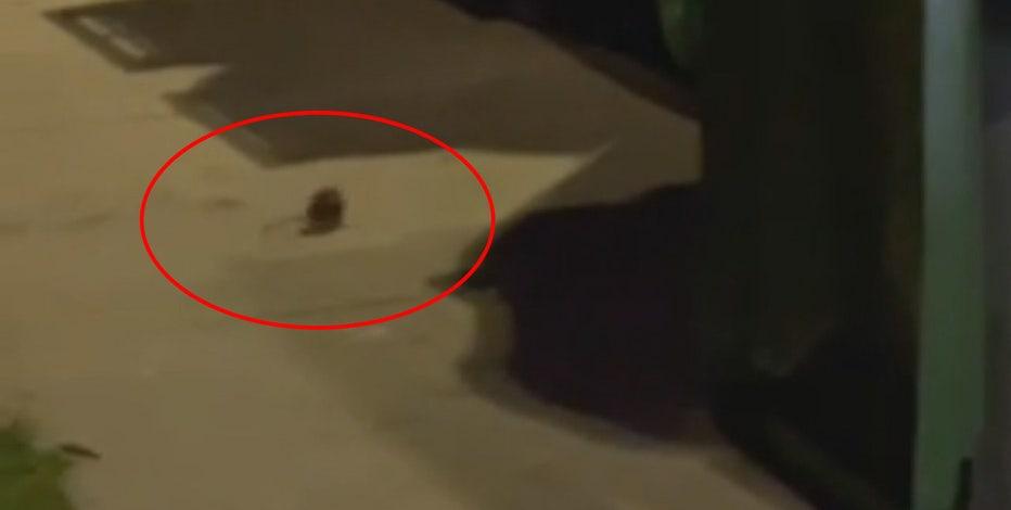 Rat problem in Milwaukee neighborhood; residents seek answers