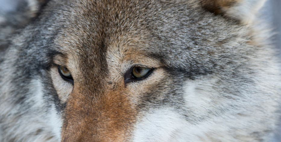 6 tribes sue Wisconsin over wolf hunt, claim it violates treaty rights