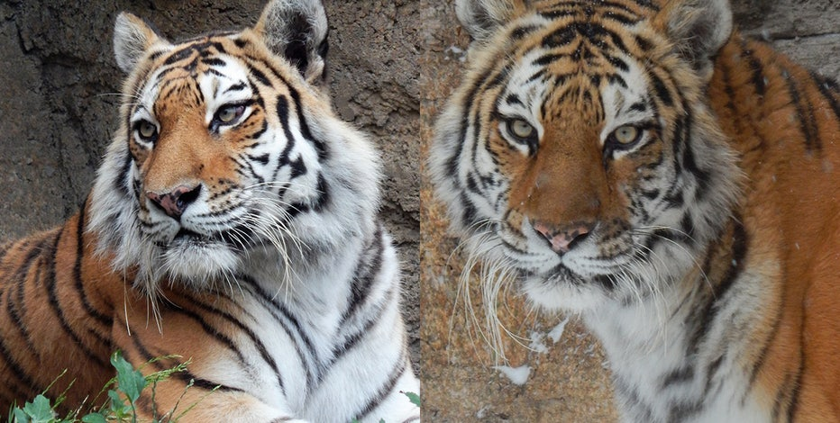Racine Zoo Amur tiger dies from complications during routine exam