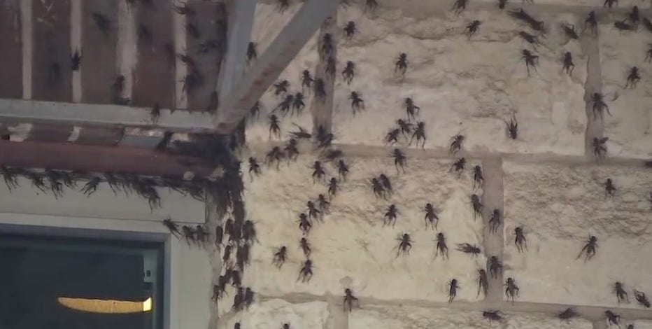 Austin Cricket Invasion 2019: Restaurant shuts down 'due to the crickets'
