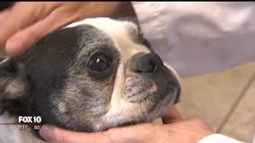 Veterinarian uses acupuncture to ease pain