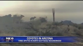 CAUGHT ON CAMERA: Pack of coyotes spotted at north Scottsdale home