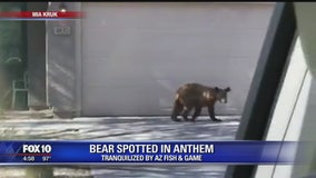 Game and Fish: Bear found in Anthem euthanized