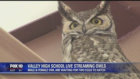 Two horned owls nested at valley HS, live cam set up for the world to watch