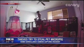 Thieves try to steal pet micro-pig from Valley home