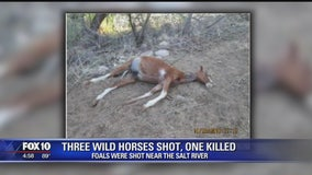 Salt River horses shot, 1 killed