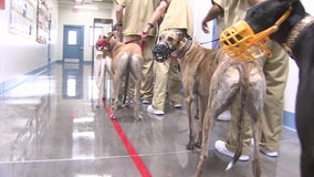 Prison program pairs inmates with greyhounds to prepare them for life after the tracks