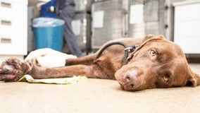 Valley dog euthanized from injuries after being found abandoned off highway