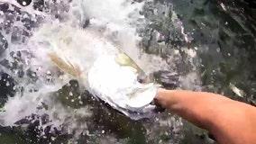 Watch: Massive tarpon bites the hand that feeds him in Florida
