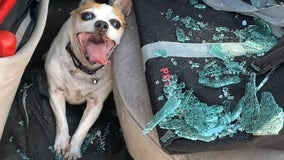 Colorado dog saved from 123-degree car suffering neurological issues, police say; owner arrested