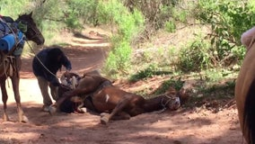 Some say Havasupai horses are abused, neglected