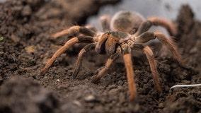 Thousands of tarantulas expected to crawl through Colorado in mass migration