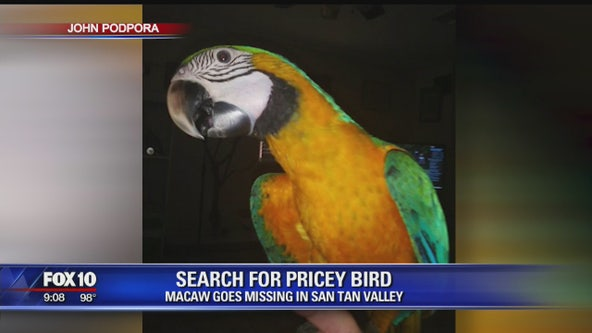 Search underway for missing macaw in San Tan Valley