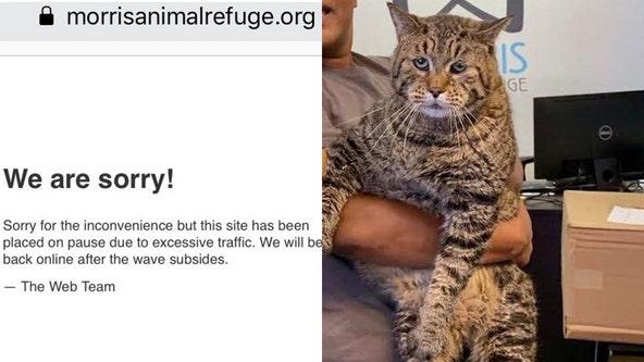 Viral 'jumbo-sized' cat breaks animal shelter's website due to popularity
