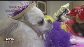 Chihuahuas working as therapy dogs to help patients at Valley hospital
