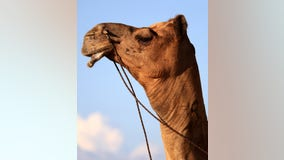 Camel's testicles bitten by woman at Louisiana truck stop petting zoo: authorities
