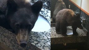 Baby black bear found sprawled across hotel bathroom sink unfazed by guests and workers