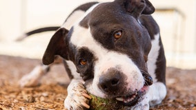 Dog in need of a home after being rescued from abuse, battling Valley Fever