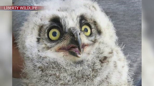 Orphaned owl released into the wild near South Mountain after being cared for by Liberty Wildlife