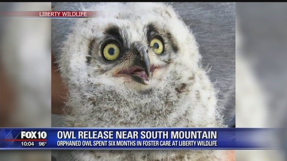 Orphaned owl released into the wild near South Mountain