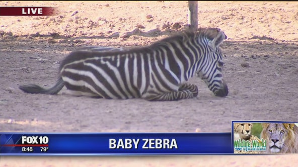 New baby zebra at Wildlife World Zoo
