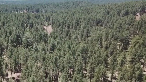 U.S. Forest Service seeks bids to thin dense stands of trees in Arizona