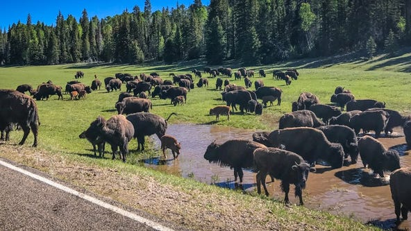 Chance to shoot bison at Grand Canyon draws 45k applicants