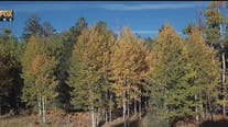 Drone Zone: Fall colors in Flagstaff, Snowbowl offers scenic chairlift rides