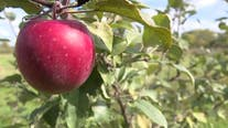 22,000 apples worth $14k stolen from Michigan orchard